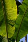 Solljusthrougt palmbladen Arkivbilder