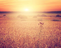 Solnedgång över ett sädes- fält Fotografering för Bildbyråer