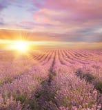 Solnedgång över ett sommarlavendelfält Royaltyfri Bild