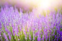 Solnedgång över ett violett lavendelfält Arkivfoto