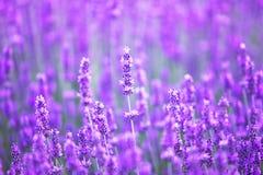 Solnedgång över ett violett lavendelfält Arkivfoton