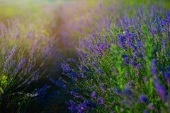 Solnedgång över ett violett lavendelfält i Provence, Hokkaido royaltyfria bilder