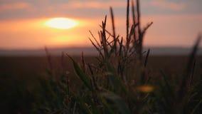 Solnedgång över havrefältet Havre i solen arkivfilmer