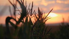 Solnedgång över havrefältet Havre i solen lager videofilmer