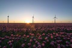 Solnedgång över holländska tulpanfält med en bakgrund av moderna väderkvarnar Fotografering för Bildbyråer