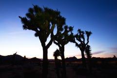 Solnedgång över Joshua Tree, Joshua Tree National Park Arkivbilder