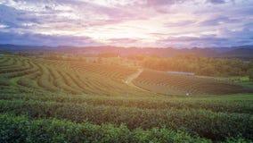 Solnedgång över koloni för grönt te över hög landhorisont Royaltyfria Bilder