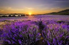 Solnedgång över lavendelfält Royaltyfri Bild
