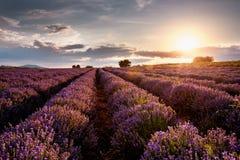 Solnedgång över lavendelfält royaltyfri foto