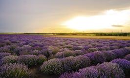 Solnedgång över lavendelfält med vindturbinen Royaltyfri Foto