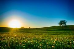 Solnedgång över maskrosäng Arkivfoto