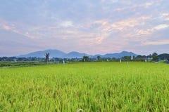 Solnedgång över ricefältet royaltyfri fotografi