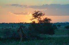 Solnedgång över savannet arkivbild