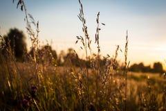 Solnedgång över trevligt fält av guld- råg Arkivbild