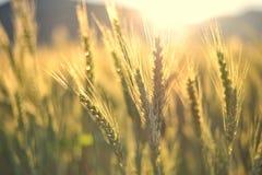 Solnedgång över vetefält Royaltyfri Bild