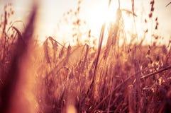 Solnedgång över vetefält Fotografering för Bildbyråer