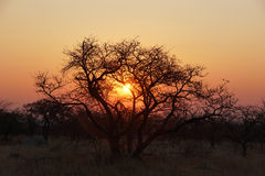 Solnedgång bak ett akaciaträd i afrikansk buske Arkivbilder