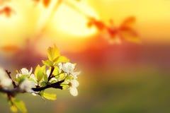 Solnedgång Blommar den blommande vita körsbäret för våren på en suddig backgr Royaltyfria Foton