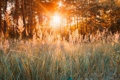 Solnedgång eller soluppgång i Autumn Forest Sun Shining With Sun strålar till och med träträd och gräs i sommarskog Royaltyfri Fotografi