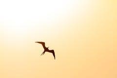 Solnedgång Frigatebird Royaltyfria Foton