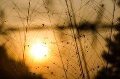 Solnedgång guld- bakgrundsgräs fotografering för bildbyråer