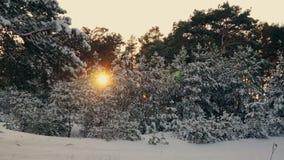 Solnedgång i den frostiga julskogen för vinter Royaltyfri Foto
