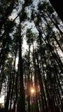 Solnedgång i en pinjeskog till och med träden royaltyfri bild