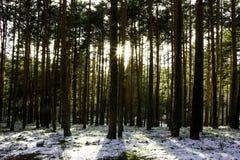 Solnedgång i en snöad skog royaltyfria foton