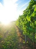 Solnedgång i en vingård Arkivbild