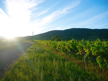 Solnedgång i en vingård Royaltyfri Fotografi