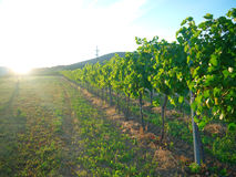 Solnedgång i en vingård Royaltyfri Foto