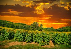 Solnedgång i ett solrosfält arkivfoto