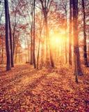 Solnedgång i höstskogen Royaltyfri Bild