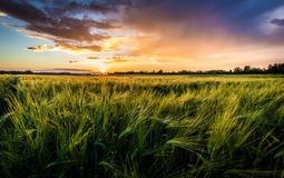 Solnedgång i kornfält Royaltyfri Bild