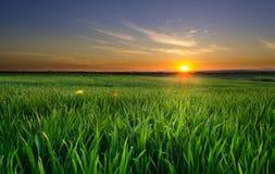 Solnedgång i vetefältet Arkivfoton