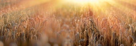 Solnedgång i vetefältet, sen eftermiddag i vetefält Royaltyfria Foton