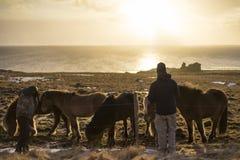 Solnedgång i vinter med isländska hästar Arkivbilder