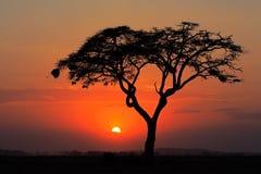 Solnedgång med det silhouetted trädet Royaltyfria Bilder