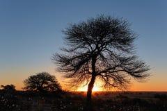 Solnedgång med det silhouetted trädet Fotografering för Bildbyråer