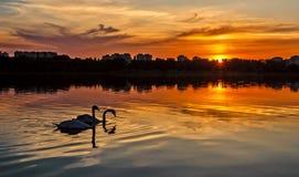 Solnedgång med svanar Royaltyfri Bild