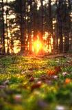 Solnedgång mellan träd arkivfoton