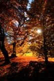 Solnedgång mellan träden i en skoghöstsäsong fotografering för bildbyråer