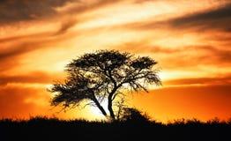 Solnedgång mot akaciaträd på afrikanska slättar Royaltyfri Fotografi