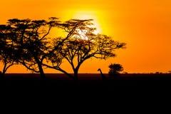 Solnedgång och giraff i Serengeti Royaltyfria Foton