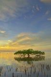 Solnedgång- och Mangrovetree Royaltyfri Foto