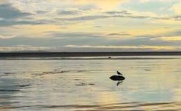 Solnedgång och seagull i Solovki Arkivfoto