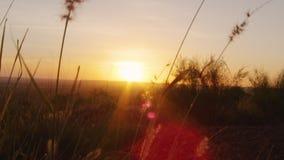 Solnedgång och silhouetted gräs stock video