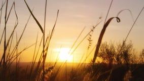 Solnedgång och silhouetted gräs lager videofilmer