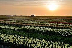 Solnedgång på blommafält i Nederländerna Royaltyfri Bild