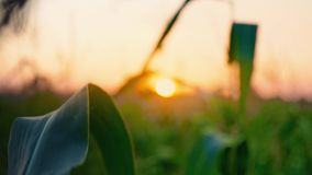 Solnedgång på cornfielden Solen ställer in över horisonten, skymning i fältet, aftonlandskapet Havresidor i fokus stock video